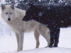 Retreived from http://wallpapers.brothersoft.com/white-wolf-and-black-wolf-98795-1600x1200.html